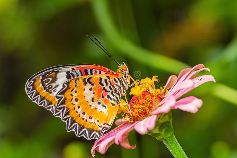 Butterfly and flower. Close up of male leopard lacewing (Cethosia cyane euanthes) butterfly perching on zinnia flower royalty free stock image