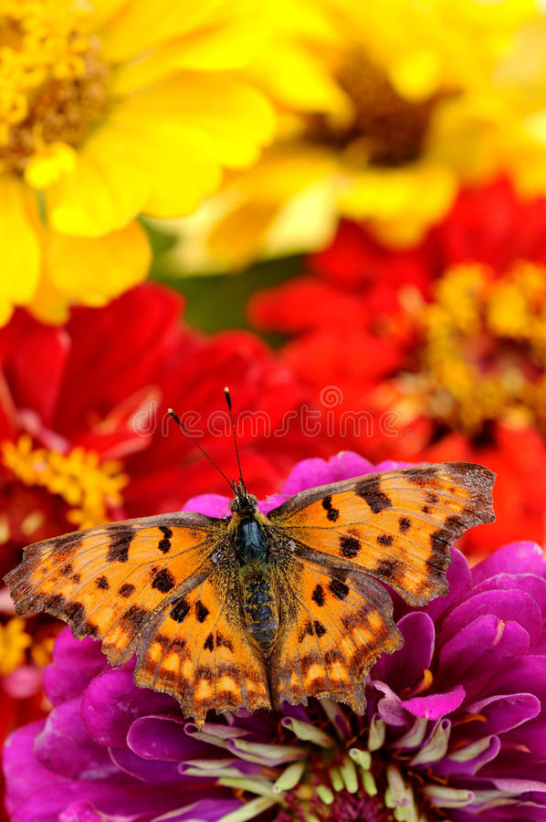 Download Butterfly On Flower Closeup Stock Photo - Image: 20613774