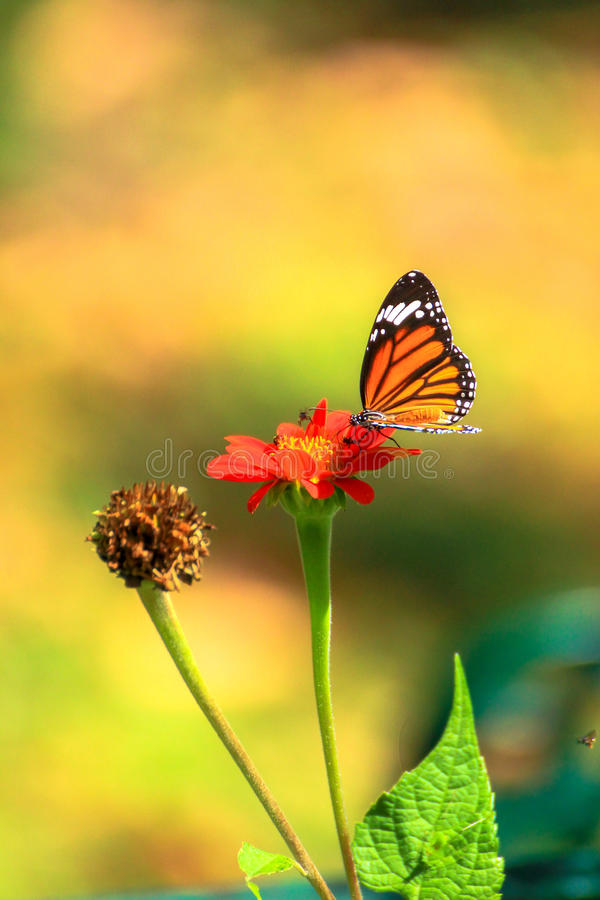 Butterfly flower royalty free stock image