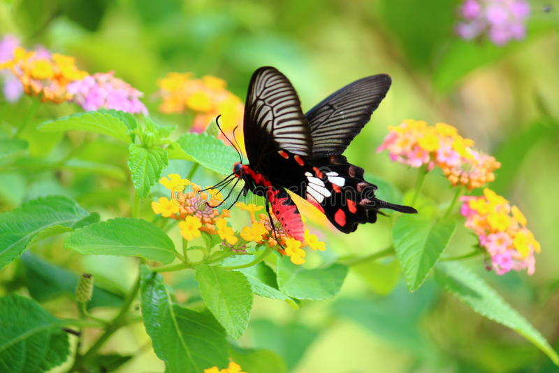 Butterfly and flower. Butterfly on colorful flower royalty free stock images