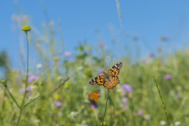 Butterfly on a flower in a field. Butterfly On Grass Field With Warm Light.  stock photos