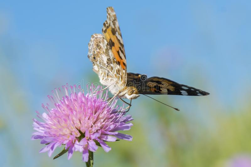 Butterfly on a flower in a field. Butterfly On Grass Field With Warm Light. close up.  royalty free stock image