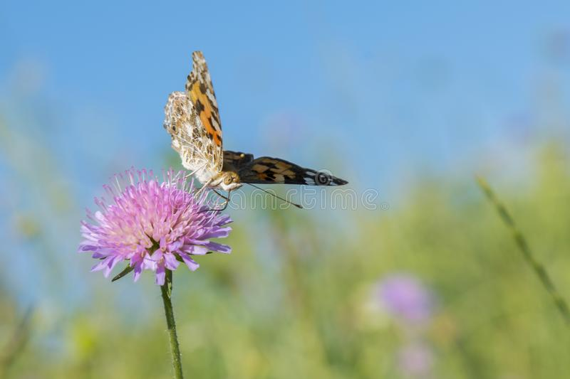 Butterfly on a flower in a field. Butterfly On Grass Field With Warm Light. close up. Against the blue sky.  stock photo