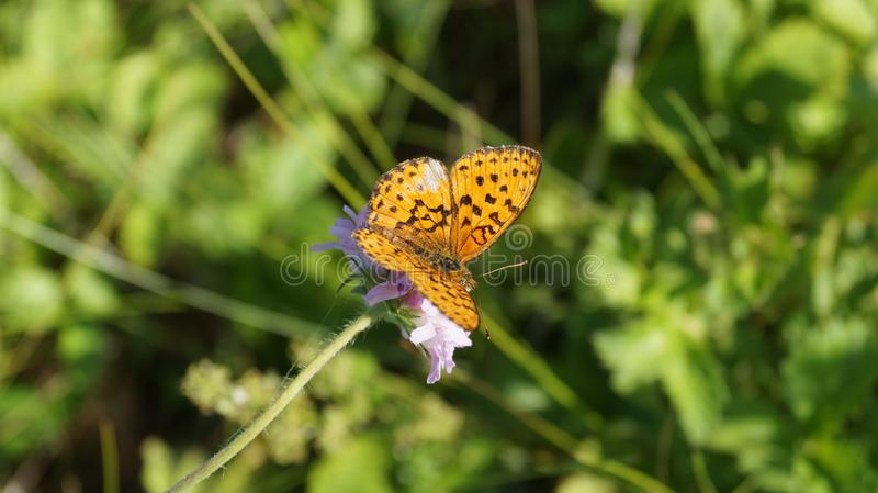 Butterfly on a flower in the forest. Ino stock photos