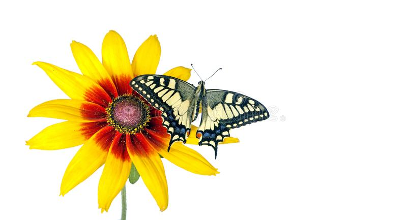 Butterfly on a flower isolated on white. Gerbera flower. Swallowtail butterfly, Papilio machaon. copy spaces. Butterfly on a flower isolated on white. Gerbera stock images