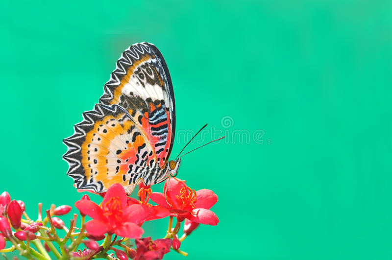 Butterfly flower (Leopard Lacewing). On green background stock image