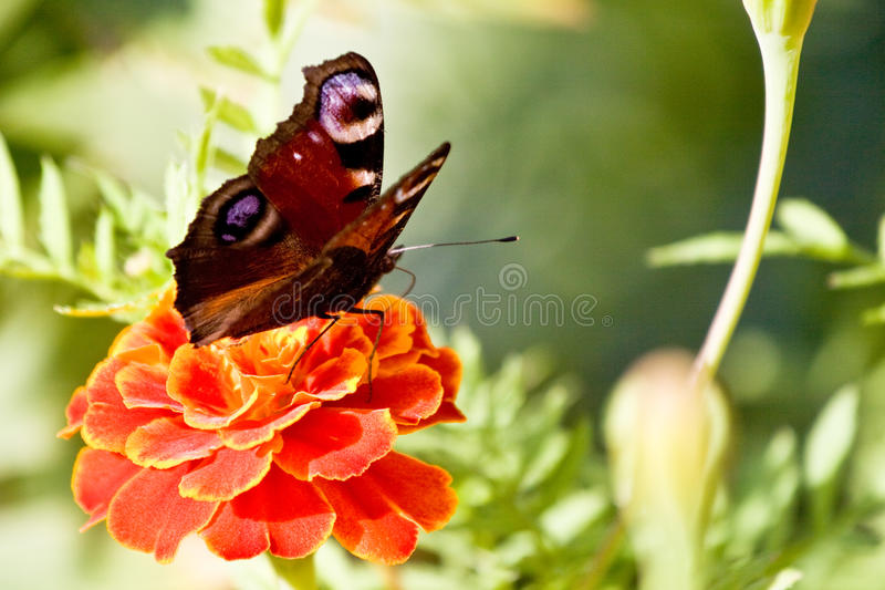 Butterfly on the flower macro stock image