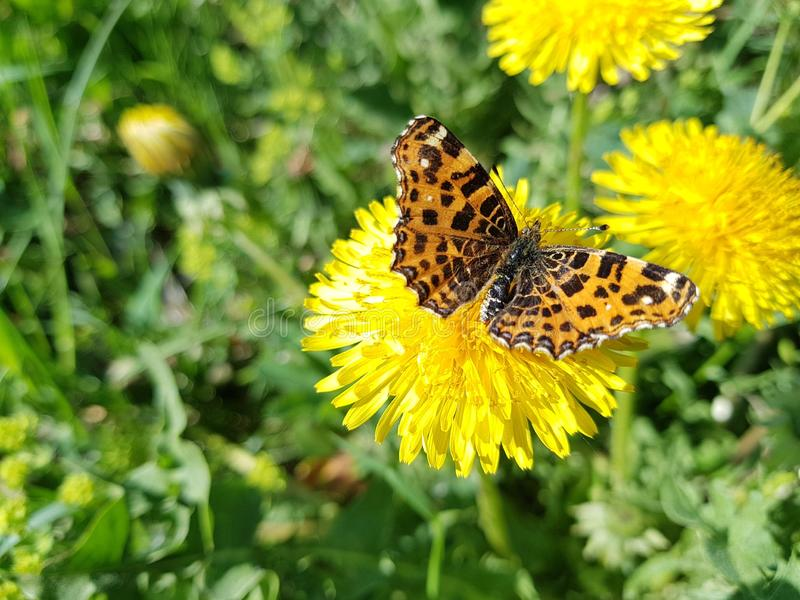 Butterfly, Flower, Moths And Butterflies, Brush Footed Butterfly royalty free stock photos