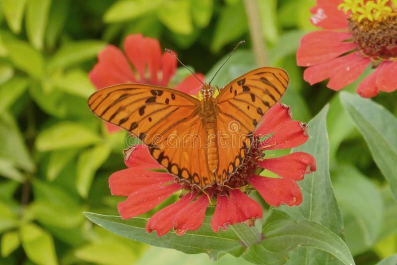 Butterfly, Flower, Moths And Butterflies, Brush Footed Butterfly stock photography
