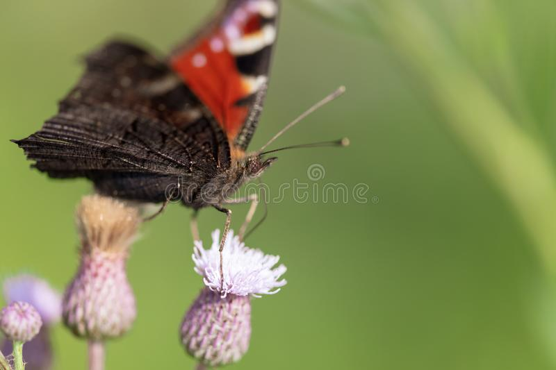 Butterfly on a flower in the nature royalty free stock photos