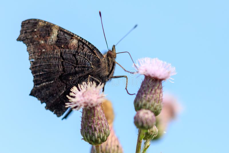 Butterfly on a flower in the nature royalty free stock image