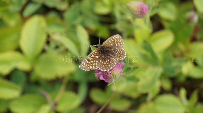butterfly on a flower. Papillons et Chenilles - Numphalinae royalty free stock image