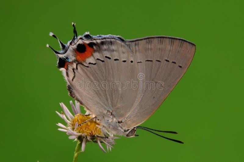 BUTTERFLY ON FLOWER,  Pratapa Deva Royalty Free Stock Images