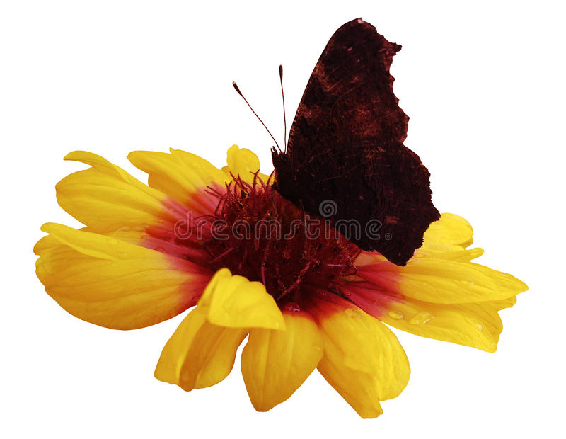 Butterfly on flower white isolated background with clipping path. Closeup. no shadows. stock image