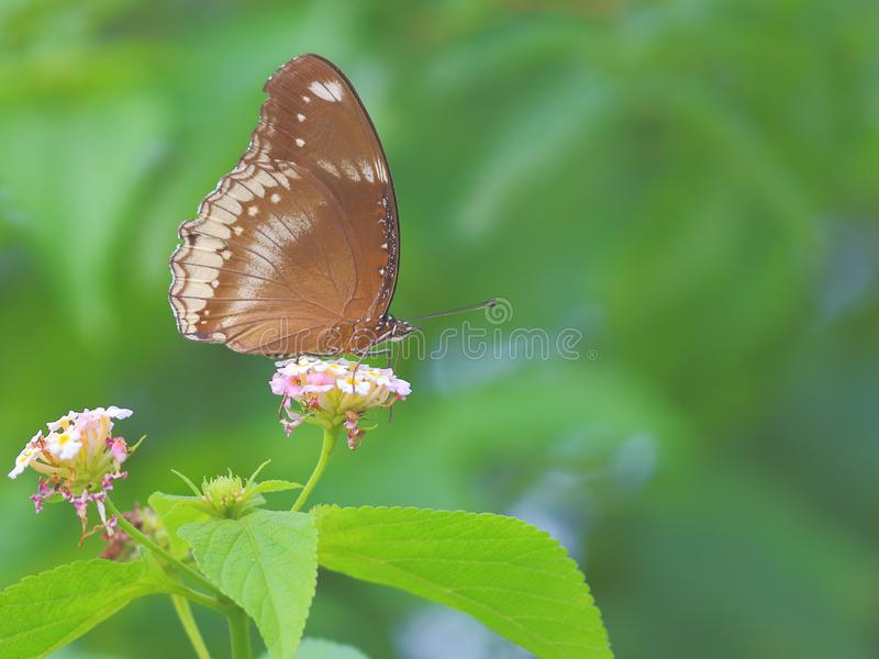 Common Indian crow butterfly. Butterfly on a flower of wild plant. beautiful green natural background and beautiful natural views. picture click at banswara stock images