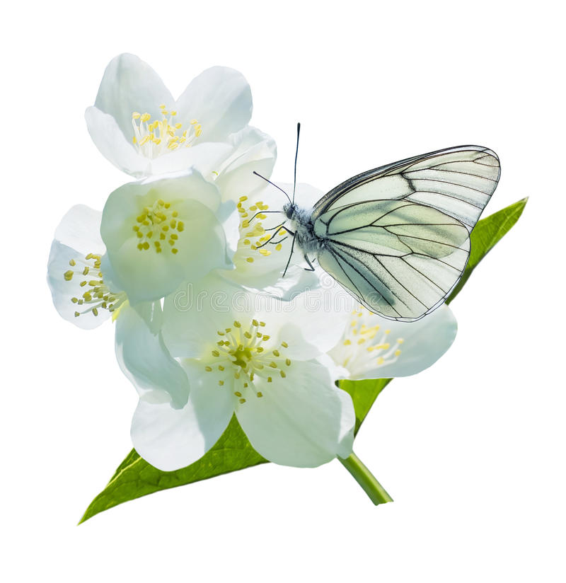 Butterfly on flowering jasmine royalty free stock images