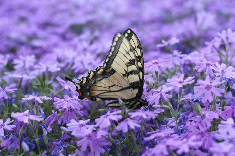 Butterfly on Flowers. An Eastern Tiger Swallowtail butterfly drinking nectar from creeping phlox flowers stock photos