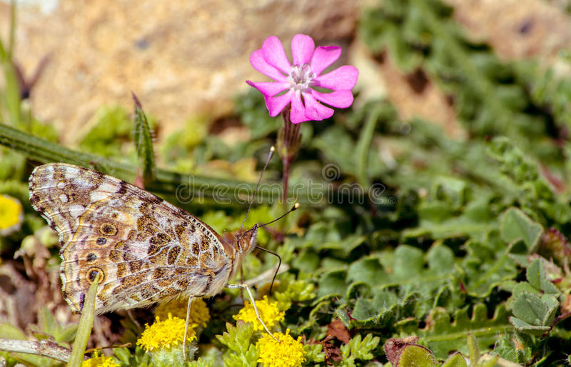Butterfly on flowers. A butterfly sucks juices from flowers, with blurry background royalty free stock photos