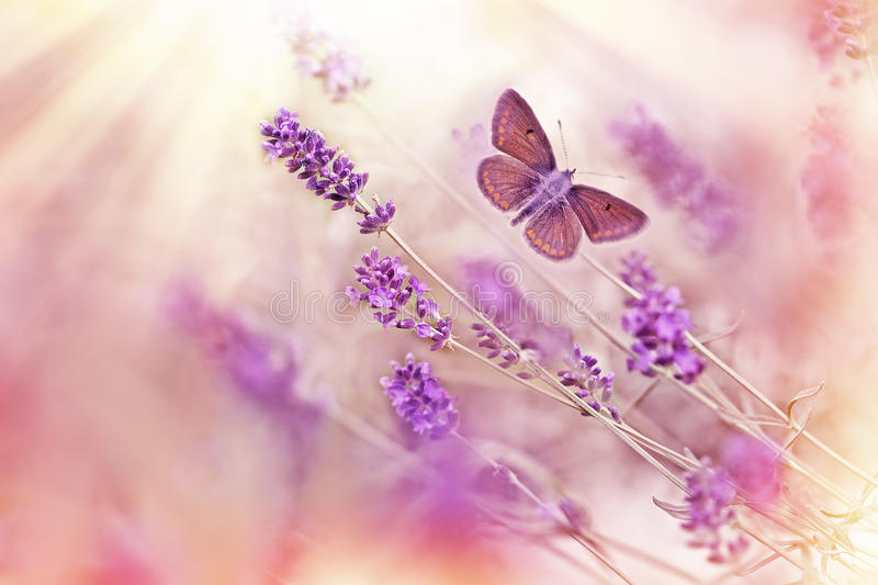 Butterfly flying over lavender stock photography
