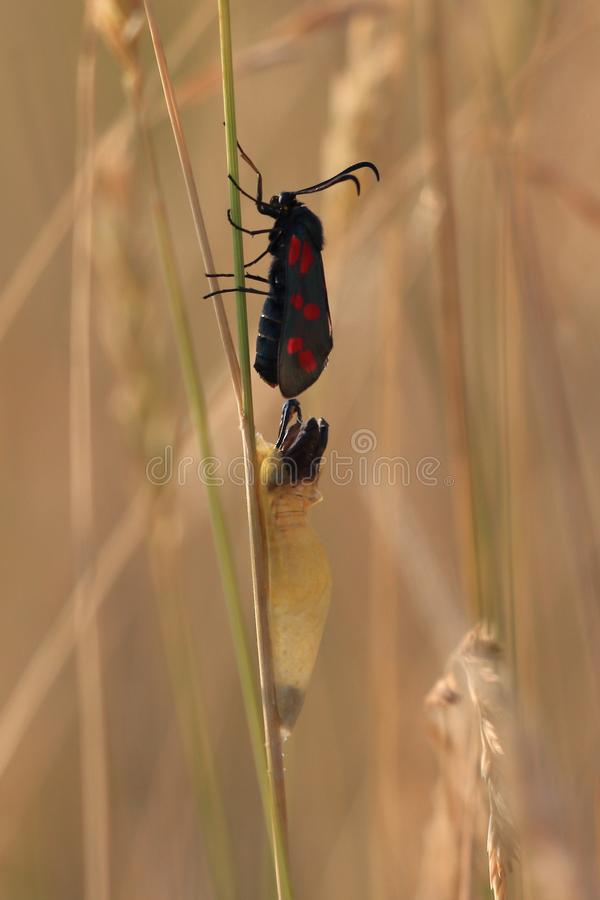 Butterfly getting out of cocoon stock image
