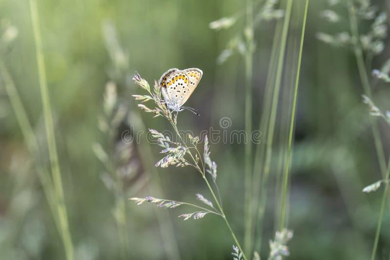 Butterfly golubyanka on a spikelet of grass stock photos