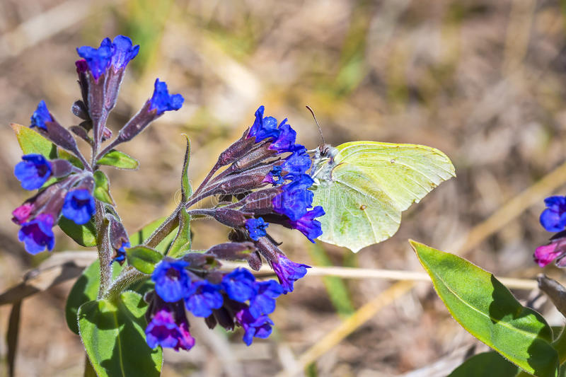 Butterfly Gonepteryx, the plant Pulmonaria dacica Simonk. Day Gonepteryx butterfly Gonepteryx feeds on nectar from the blossom of the softest Lungwort Pulmonaria royalty free stock photo