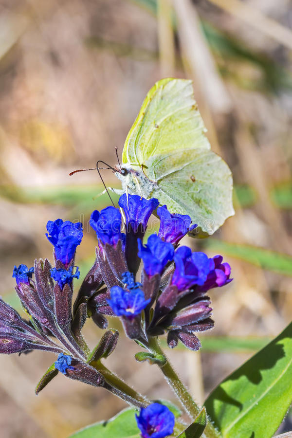 Butterfly Gonepteryx, the plant Pulmonaria dacica Simonk. Day Gonepteryx butterfly Gonepteryx feeds on nectar from the blossom of the softest Lungwort Pulmonaria royalty free stock images