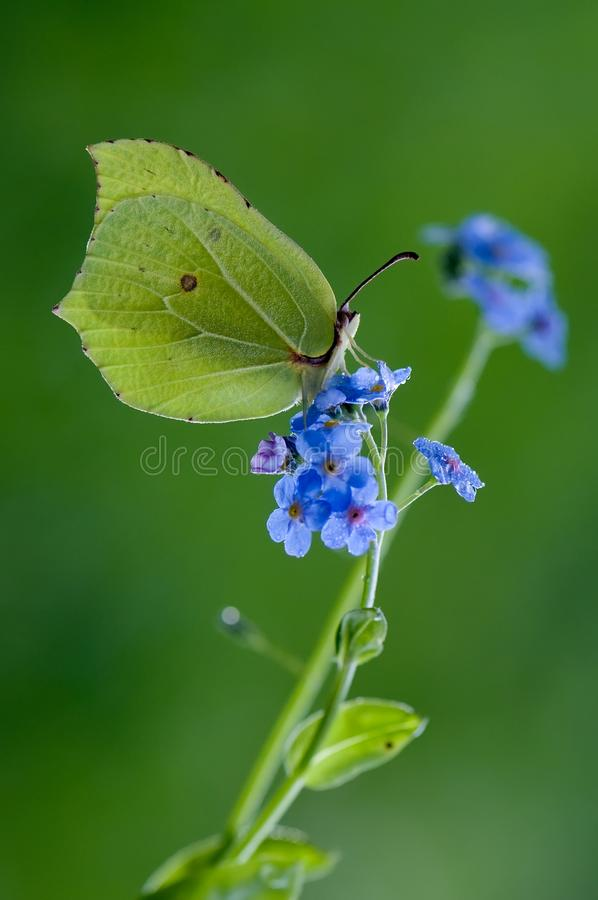 Butterfly Gonepteryx rhamni on the blue flower. Butterfly Gonepteryx rhamni, on the blue flower, nature summer butterfly forest flower stock image