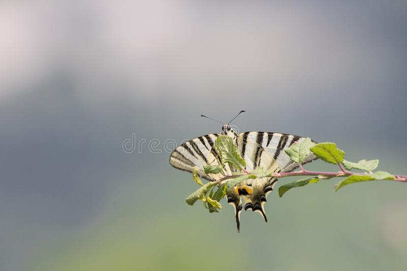Butterfly on a green branch. Yellow butterfly on a green branch in a soft backgorund royalty free stock images