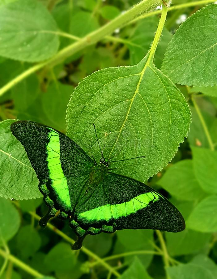 Butterfly in green colors Papilio lowi or Crimson Mormon. Papilio lowi or Crimson Mormon butterfly on green leaves in green color stock photography