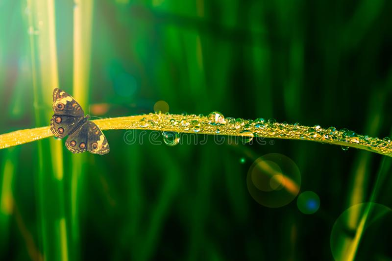 Butterfly with green grass and dew drop at morning sunrise stock photo