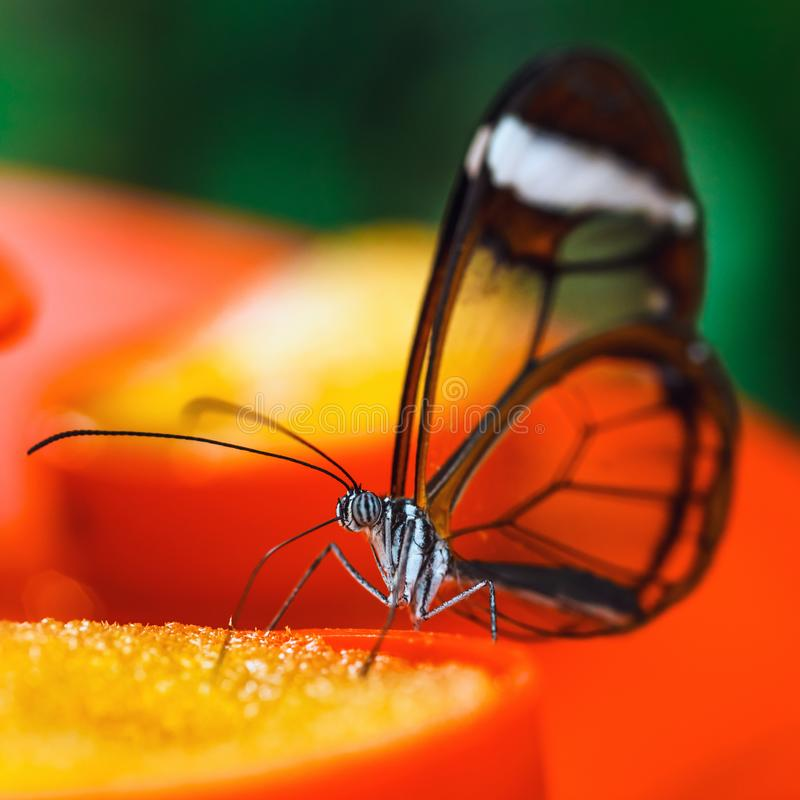 Butterfly Greta oto with transparent wings. Feeds on flower royalty free stock image