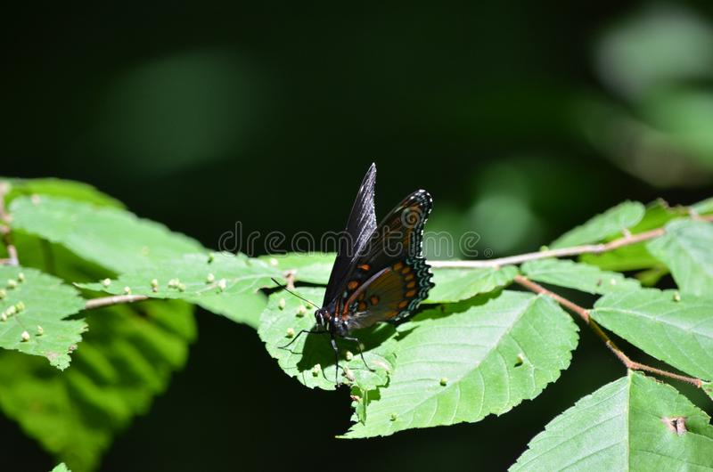 A butterfly has stopped to lay eggs stock images
