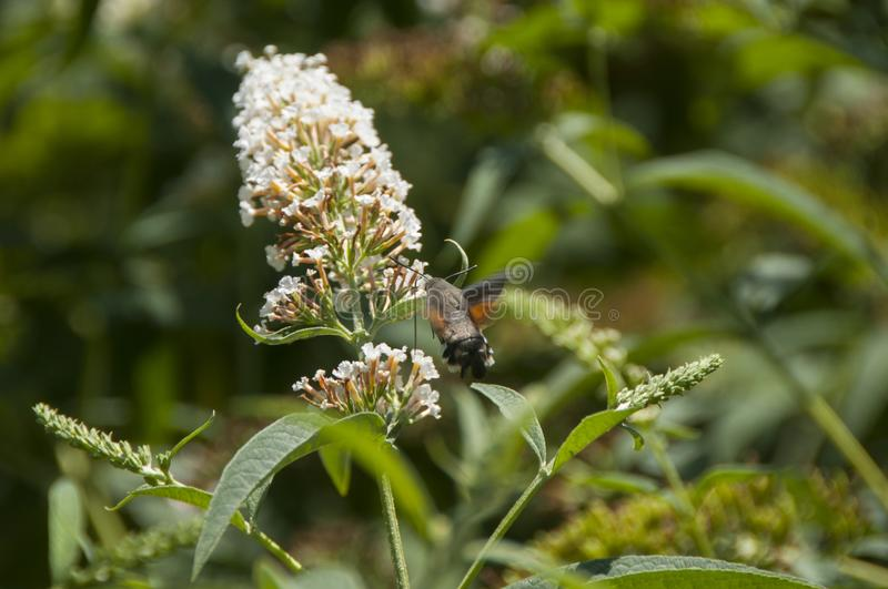 Butterfly Hawk Moth flying over small white flowers. Insect similar to Calibre. stock photography