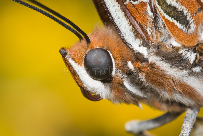 Butterfly head royalty free stock photos
