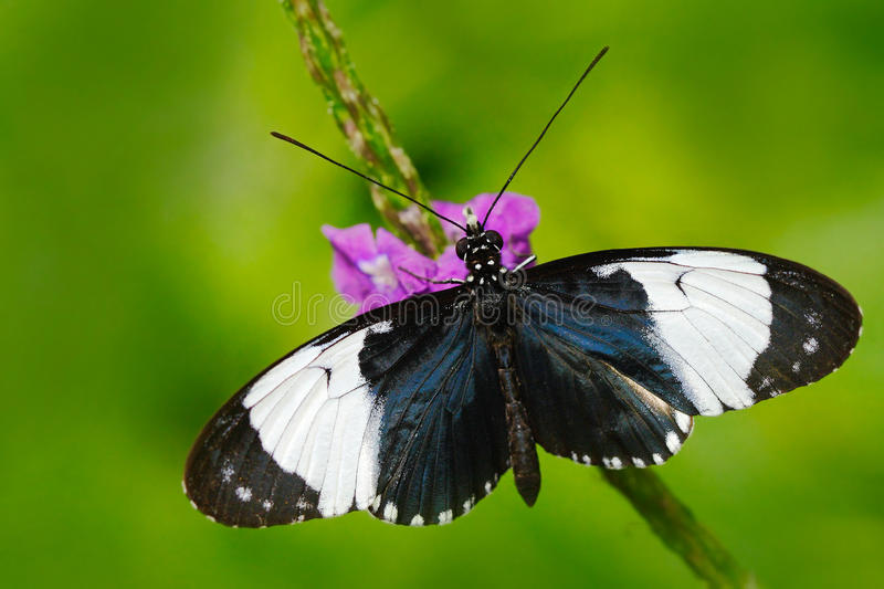 Butterfly Heliconius cydno galanthus in nature habitat. Nice insect from Costa Rica in the green forest. Butterfly sitting on the stock image