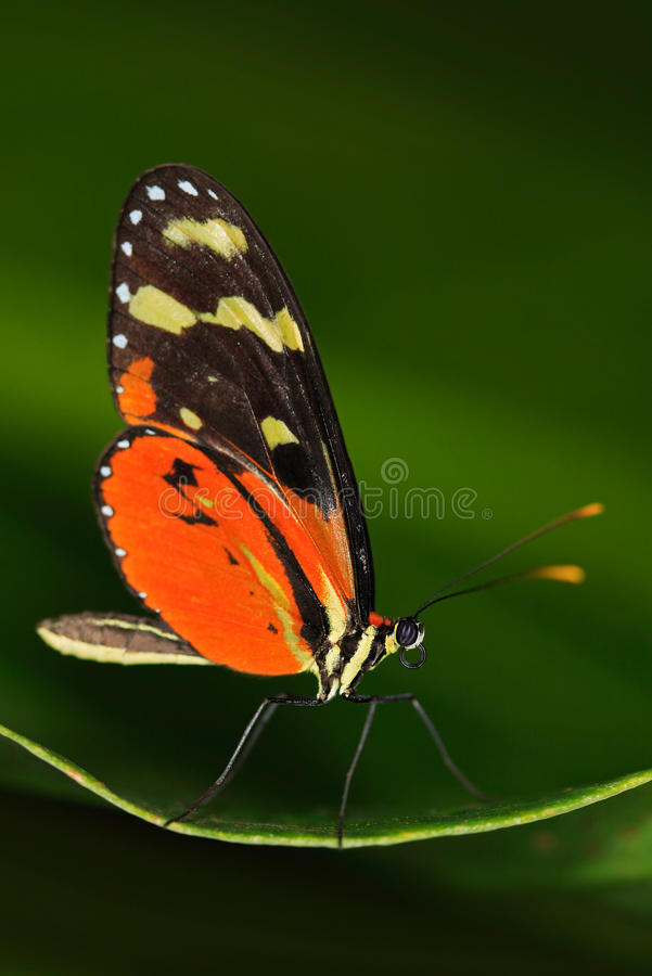 Butterfly Heliconius Hacale zuleikas, in nature habitat. Nice insect from Costa Rica in the green forest. Butterfly sitting on the royalty free stock image