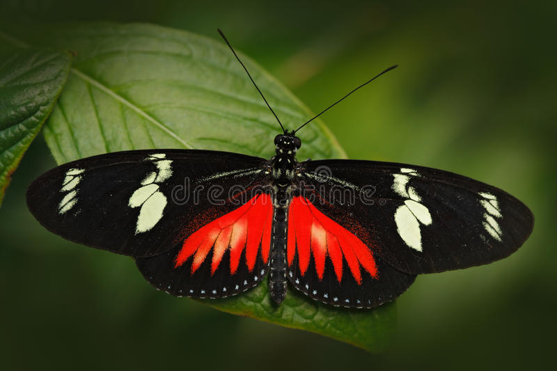 Butterfly Heliconius Hacale zuleikas, in nature habitat. Nice insect from Costa Rica in the green forest. Butterfly sitting on the royalty free stock photos