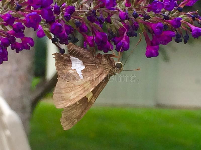 Butterfly and her butterfly bush royalty free stock image