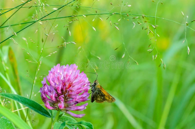 Butterfly hesperiidaem collects nectar from the flower stock photo