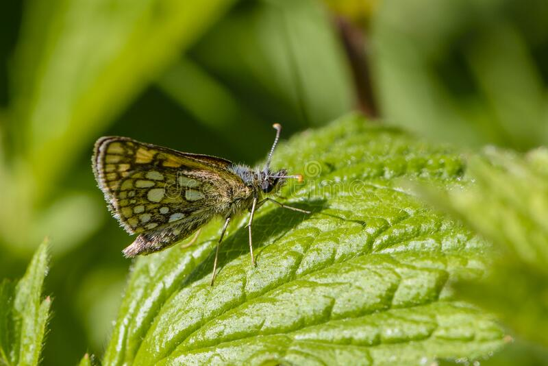 Butterfly hopper sits on green leaf of grass. Butterfly hopper sits on a green leaf of grass stock photography