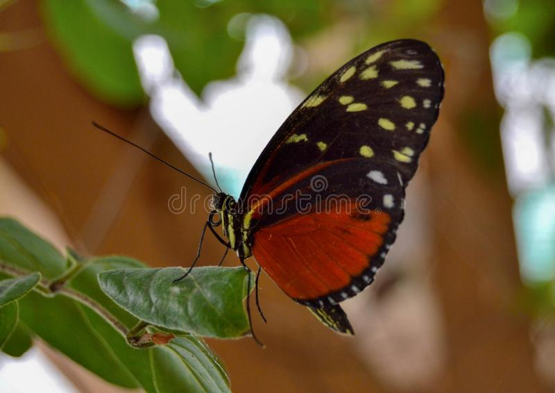 Butterfly house Praid Romania. Moth tropical ragile delicate inect insects oragne black white otts  yellow dots leaves leaf closeup macro photography wood stock image