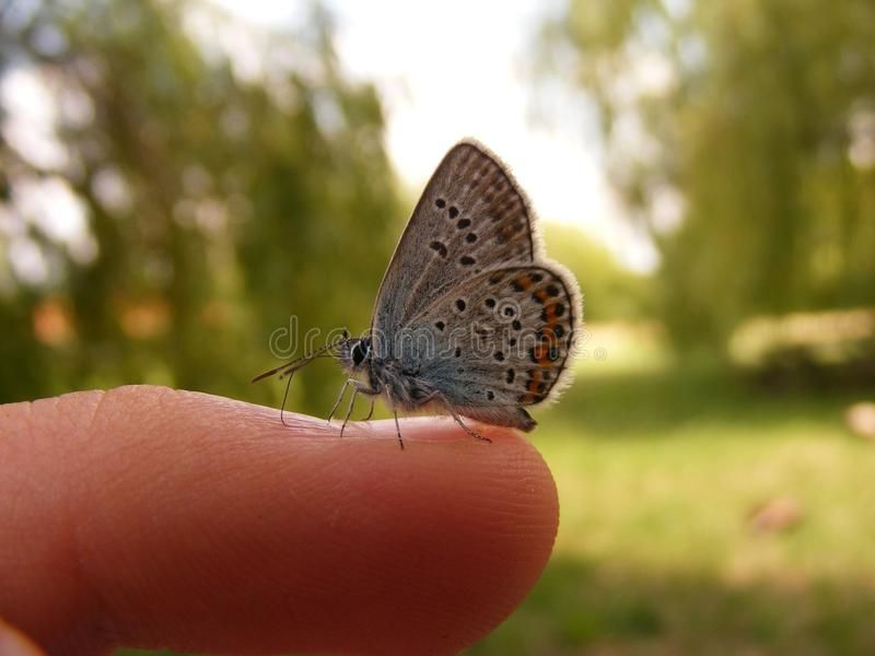 Butterfly on a human finger 2. A butterfly resting peacefully on someones finger and drinking his sweaat stock photography
