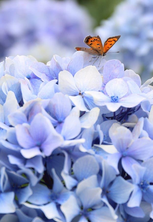 Butterfly on Hydrangea Macrophylla Flower in Jeju. Photo taken in July in Jeju, South Korea royalty free stock image