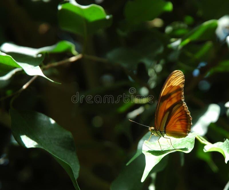 Butterfly II stock image