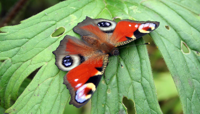 Butterfly Inachis io royalty free stock image