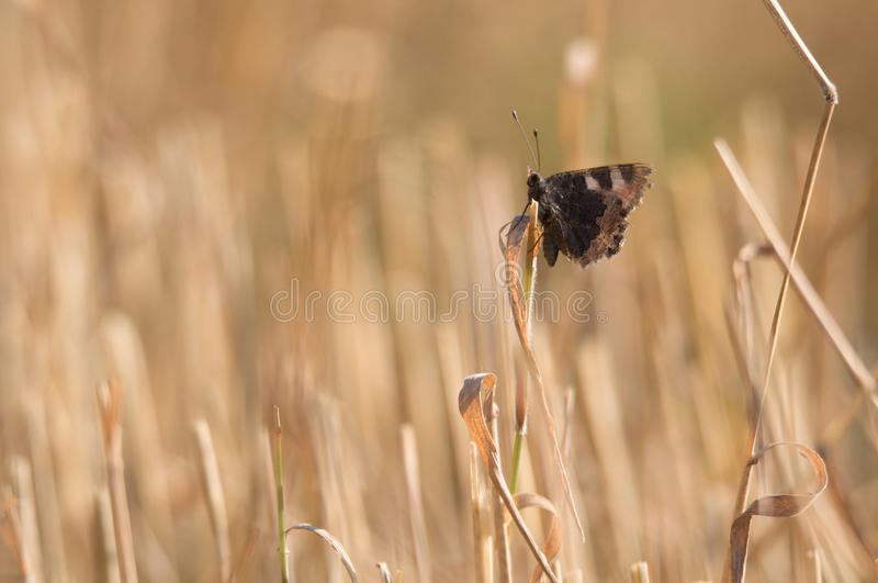 Butterfly inactive on straw. Butterfly inactive on the mown straw stock images