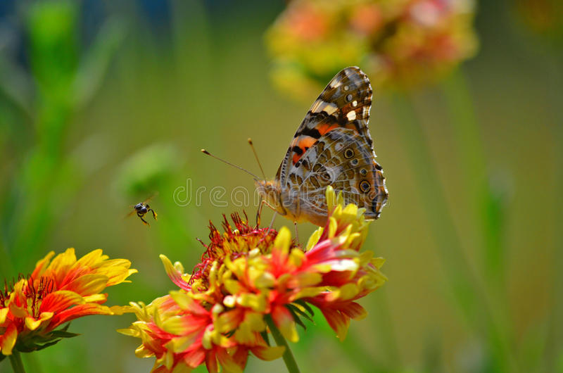 A butterfly with an insect in a garden at Agartala,Tripura,India. Painted lady butterfly with an insect in a garden at Agartala,Tripura,India stock photo