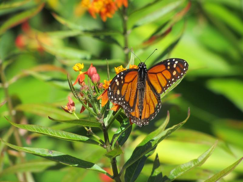 Butterfly, Insect, Monarch Butterfly, Moths And Butterflies royalty free stock photo