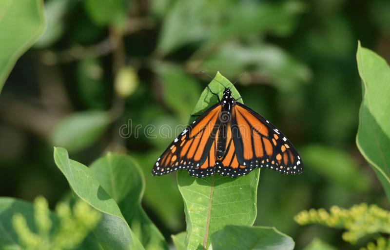 Butterfly, Insect, Monarch Butterfly, Moths And Butterflies stock photos
